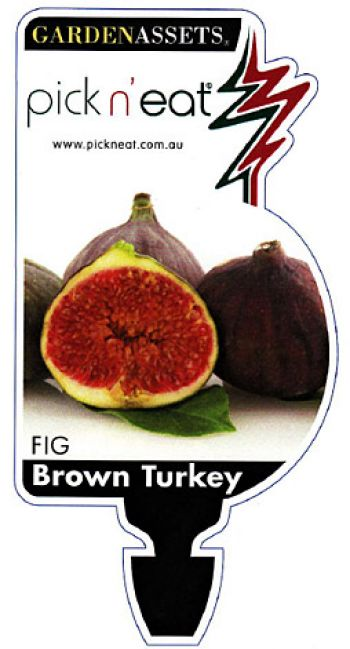 Fig Brown Turkey