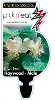 Kiwi Fruit Haywood Male