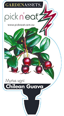 PICK-N-EAT-CHILEAN-GUAVA