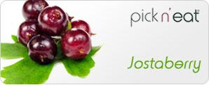 pick-n-eat-jostaberry