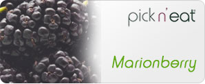 pick-n-eat-marionberry